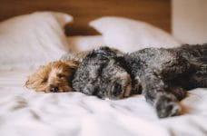 Dos perros de tamaño pequeño duermen sobre una cama.