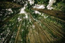Grupo de árboles coníferas formando un bosque.