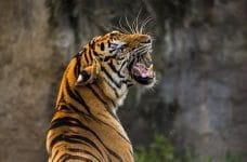 Un tigre con las fauces abiertas rugiendo.