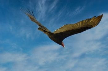 Aura gallipavo o uruburu en pleno vuelo.